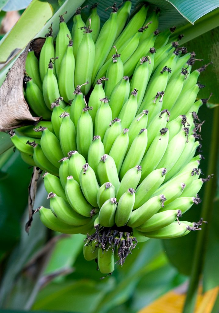 A full ream of maturing bananas still hanging from the tree.