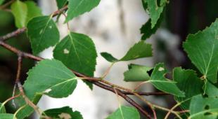 Birch tree leaves with trunk in the background.