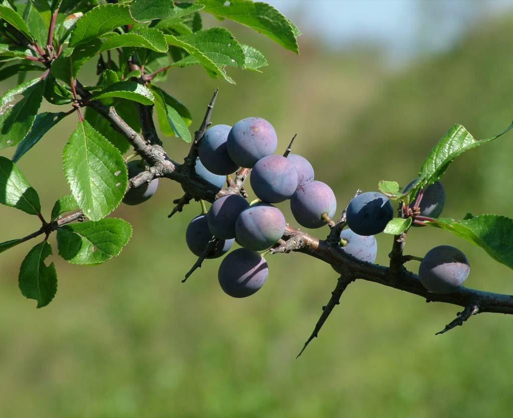 Blackthorn, delicious wild berries