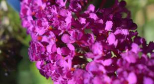 Buddleja flower panicle close up, deep pink color.