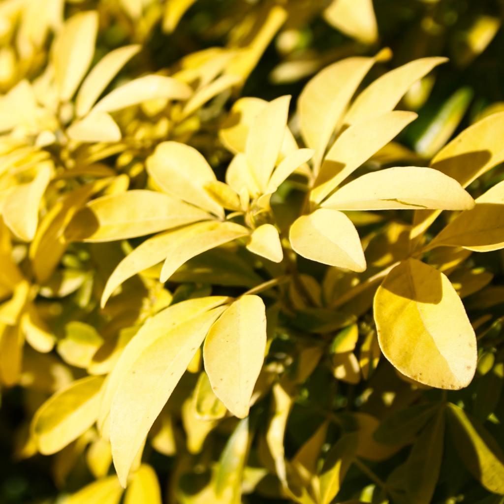 Choisya Sundance, the golden Mexican orange tree