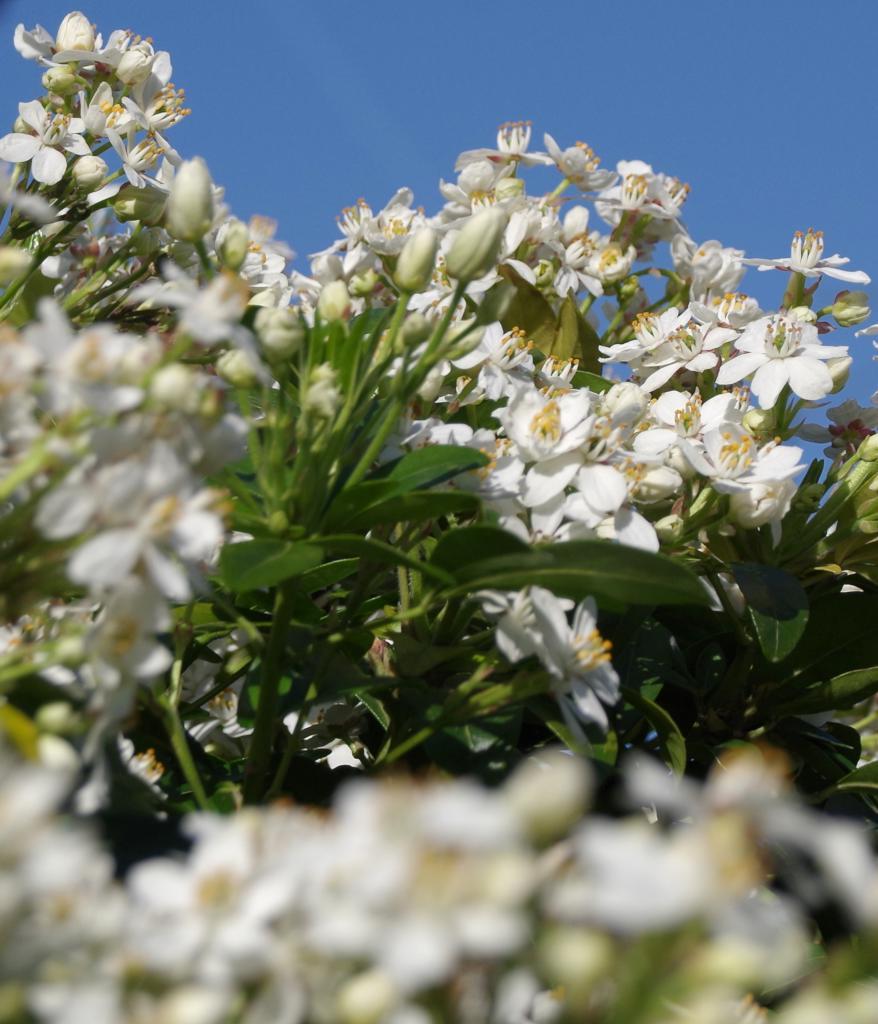 Choisya ternata, superb blooming