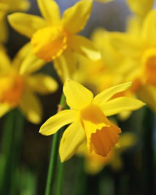 Narcissus, daffodil, spring is nigh!