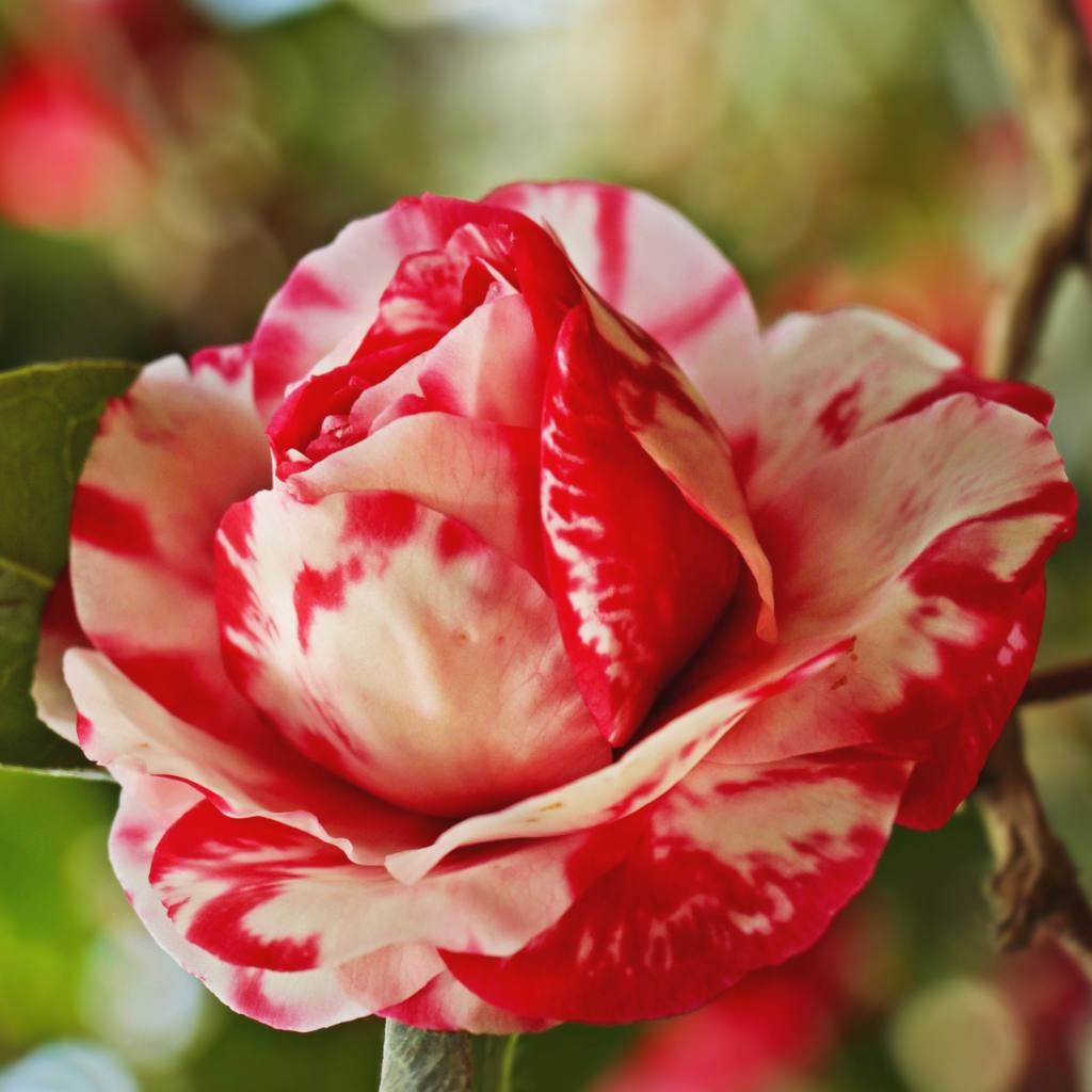 Red-and-white mottled camellia flowers are easy to grow.