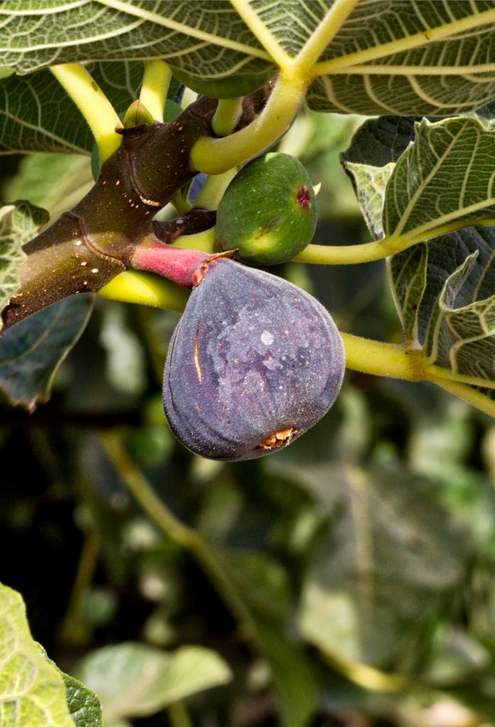 Ficus carica, the common fig tree
