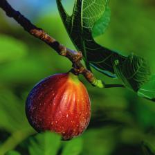 Fig tree, a summer-loving fruit tree