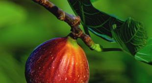 Ripe maroon fig on fig tree.