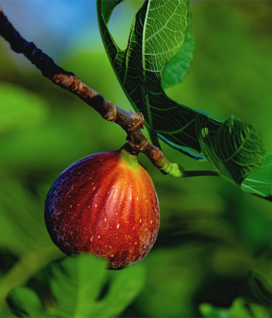 Fig tree, a summer-loving fruit tree
