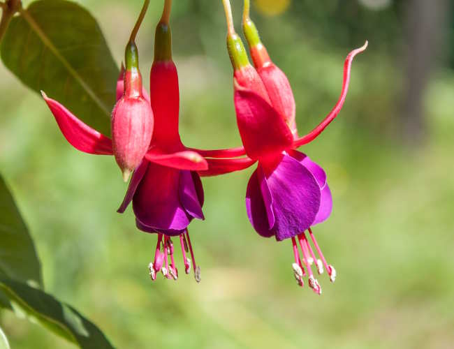 Fuschia, surprising elegant flowers