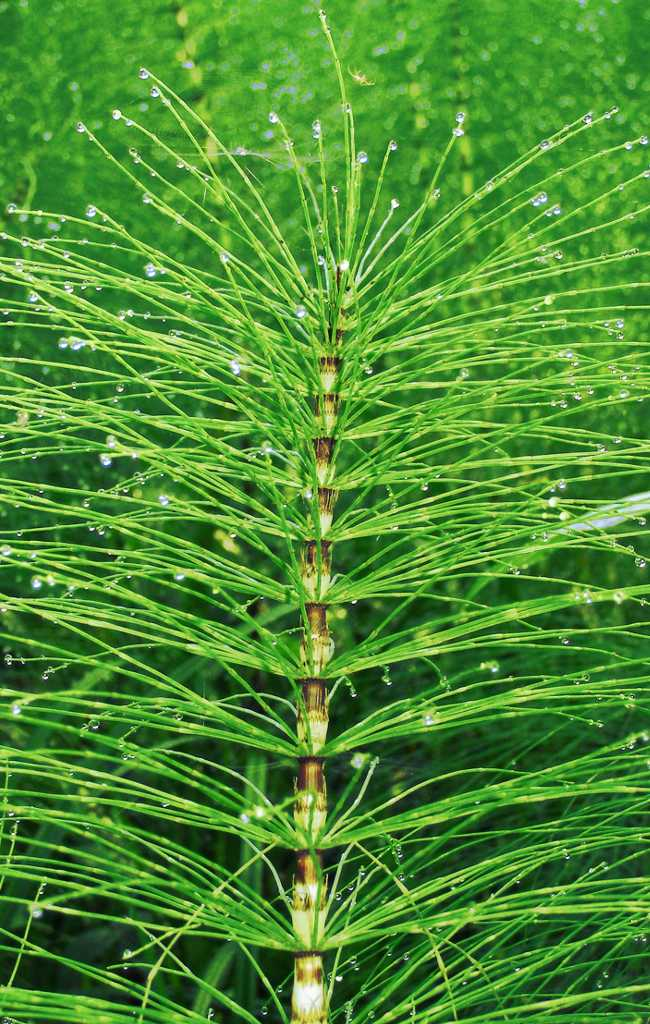Horsetail plant leaves to make fermented tea.