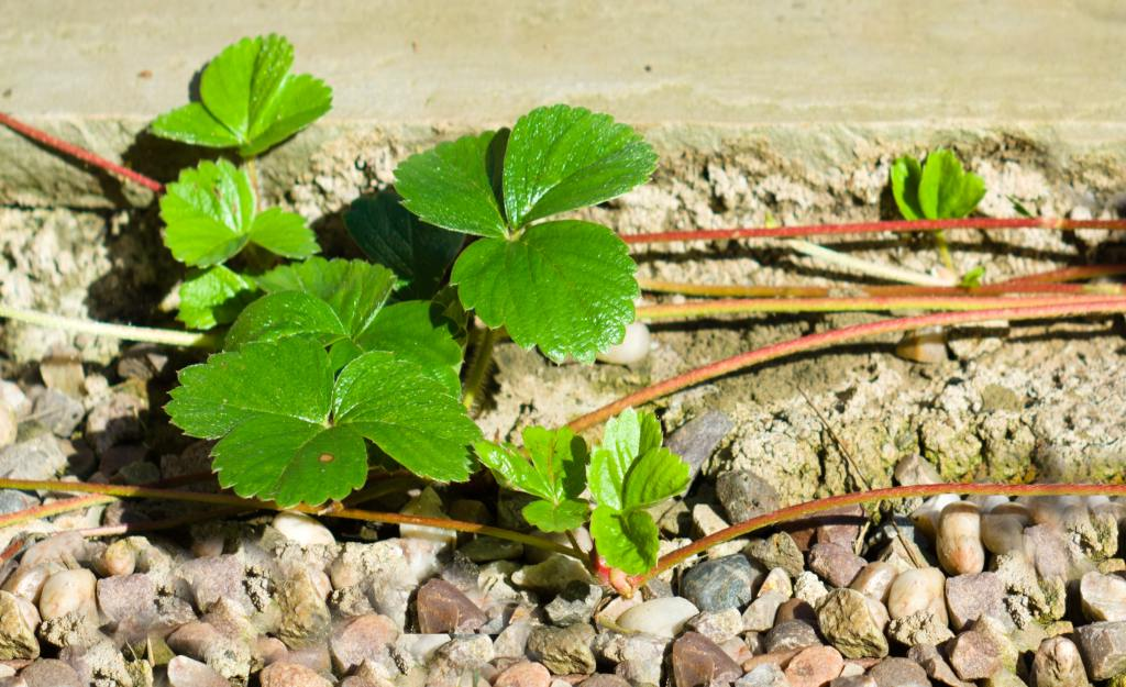 Layering strawberry plants