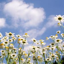 Oxeye daisy, flowers galore