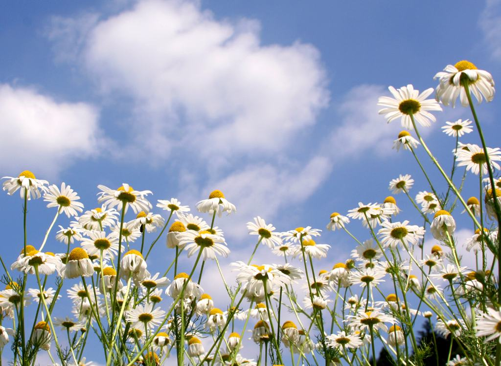 Oxeye daisies in a field with blue sky and clouds.