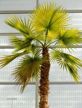 palmier chanvre trachycarpus fortunei entretien. Black Bedroom Furniture Sets. Home Design Ideas