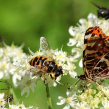 Impact of insecticides on garden butterflies and bumblebees