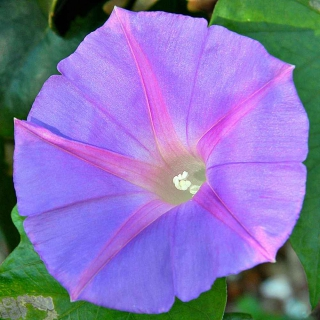 Light purple oceanblue morning glory (Ipomoea indica var. acuminata) filling almost the entire frame up