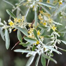 Russian olive tree branch with flowers that will turn into fruits to spread and invade more territory