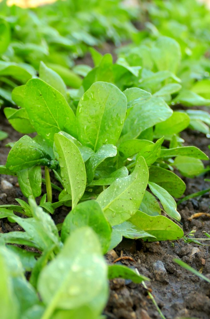 Spinach, all the tips on how to grow it