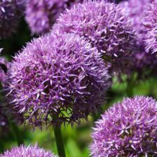 Allium, exceptional bulbs