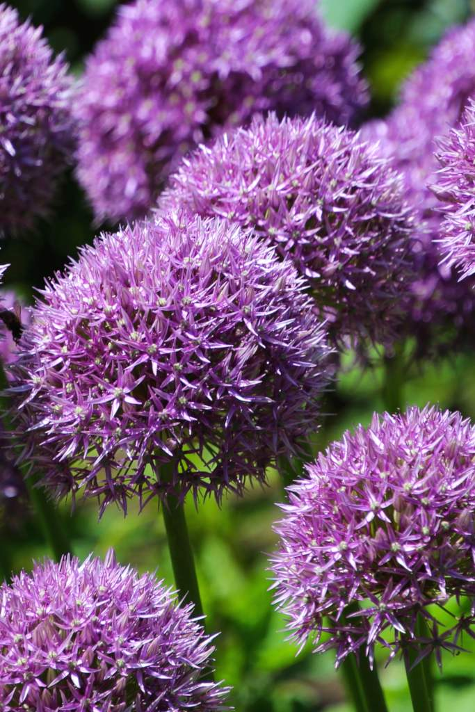 Allium, exceptional bulbs