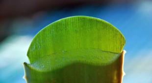 Sliced aloe vera leaf shows health-improving gel.