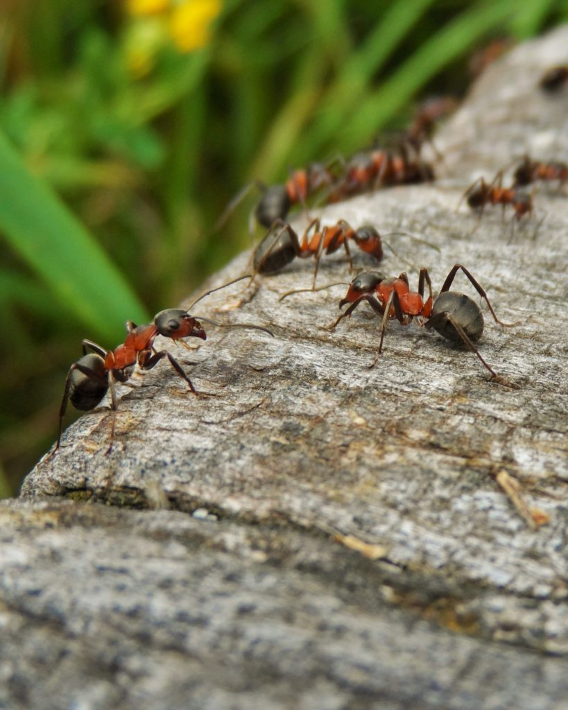 Effective organic ant repellant