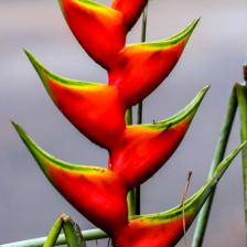 Balisier, an exotic flower to rediscover