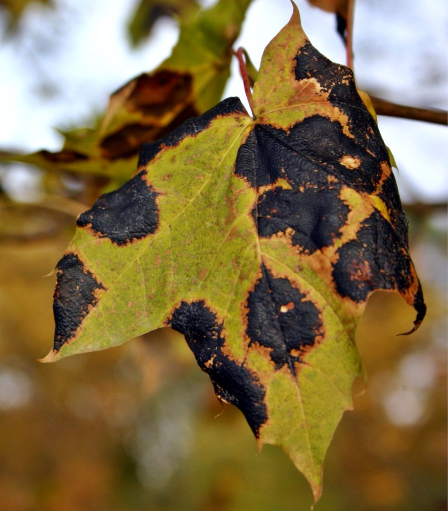 Black spot, also called tar spot, is a fungus that appears on leaves like this infected maple leaf.