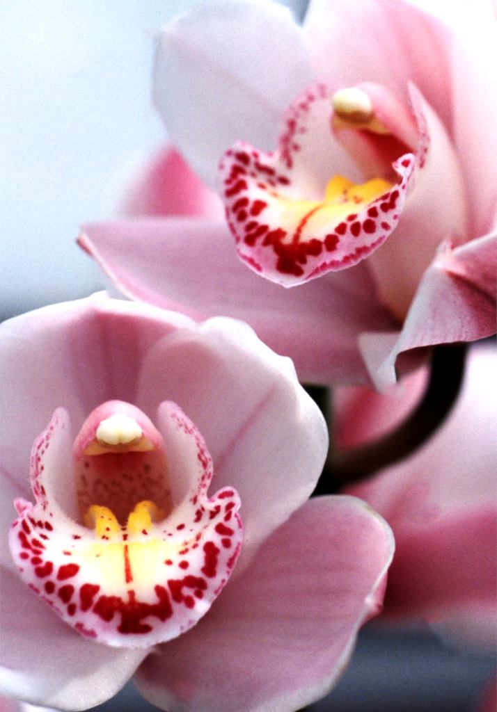 An orchid of the cymbidium variety with pink flowers.