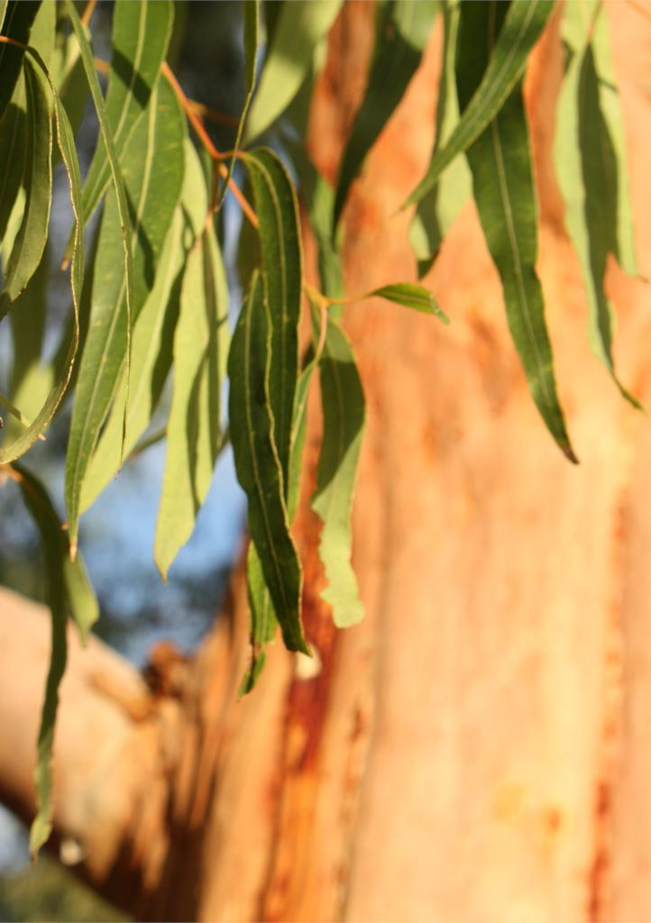 Eucalyptus, a tree full of benefits for all