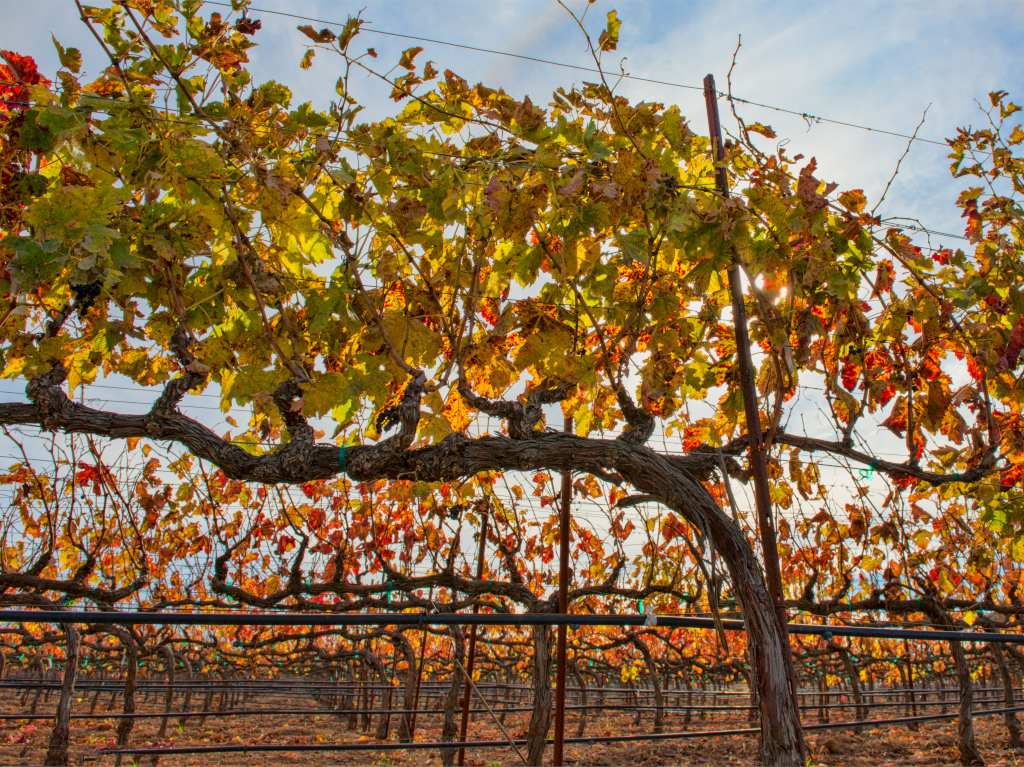 Pruning grapevine, tips and guidance to succeed