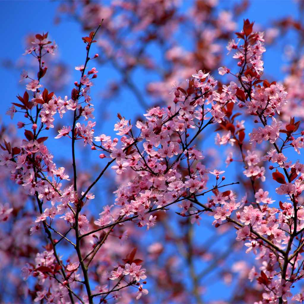 Pink-flowered branches criss-crossing on a blue sky background.