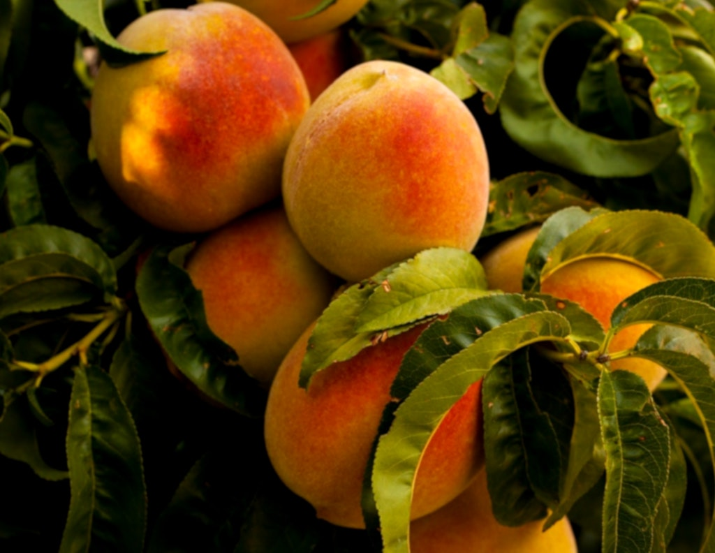 Peaches and nectarines for a refreshing summer