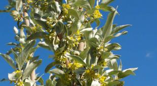 Tall silverberry shrub in full bloom with blue sky background.