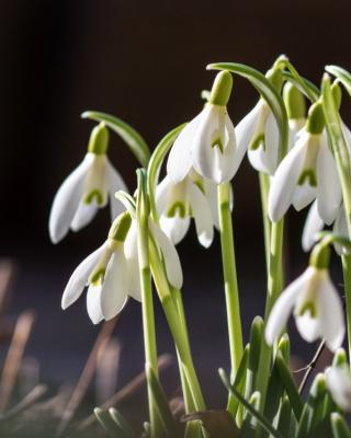 Snowdrop, a cute little flower