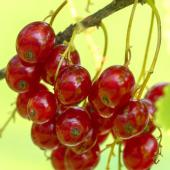 Red berries for the summer