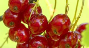Red currant, one of the most popular summer berries.