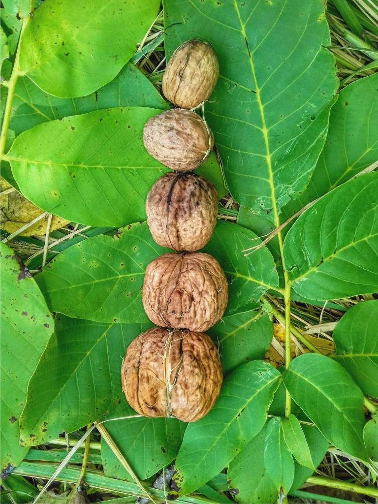 Harvested walnuts arranged on walnut leaves.