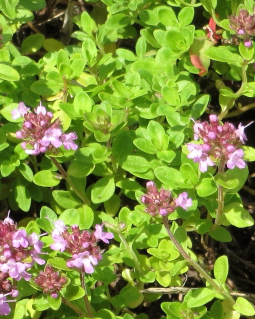 Blooming bush of wild thyme