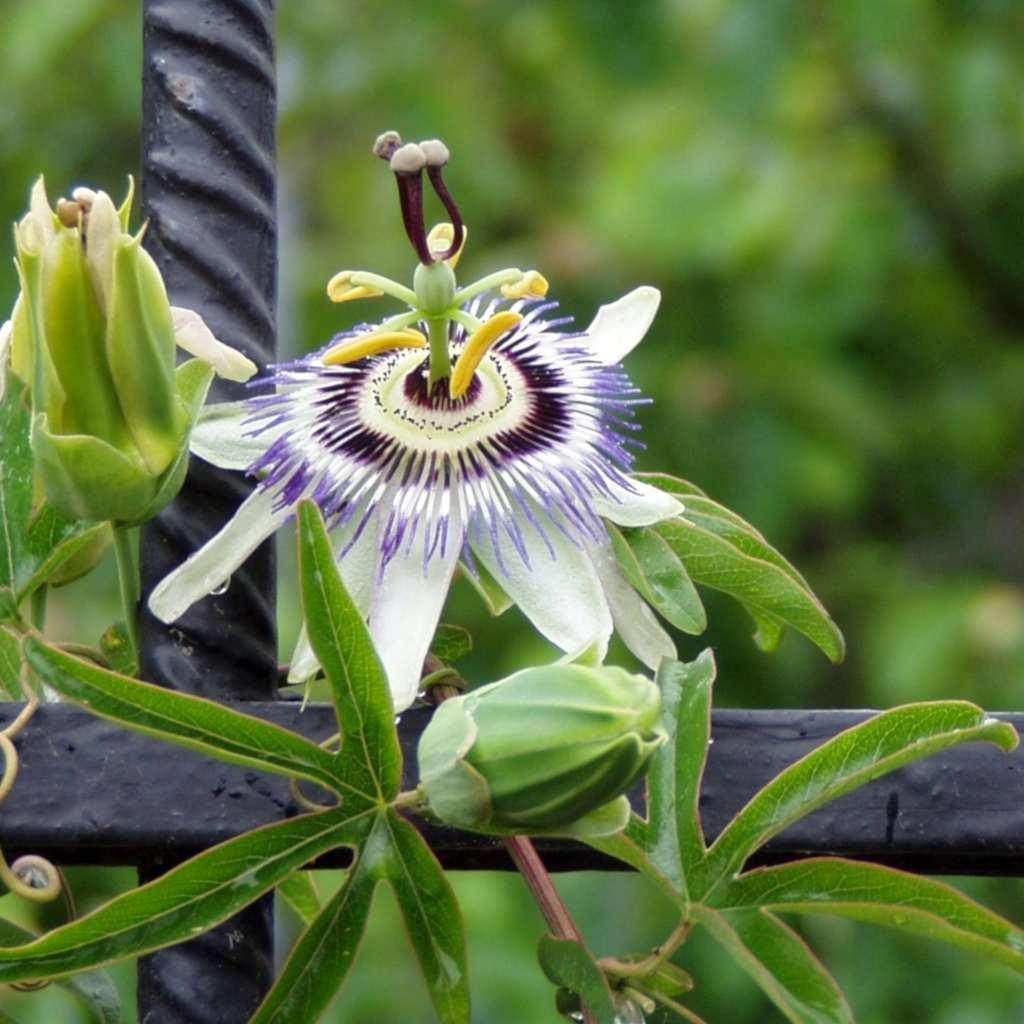 Part of a wrought iron fence with a passion flower blooming on it.