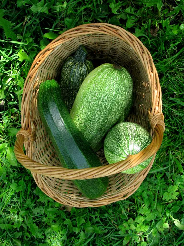 Zucchini, a delicious vegetable that is easy to grow