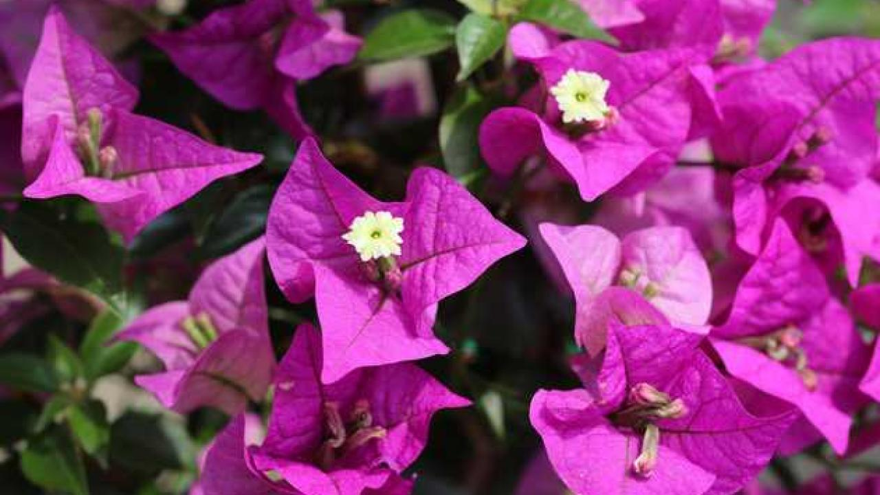 Arbuste Nain Persistant Plein Soleil bougainvillier : plantation, taille et conseils d'entretien