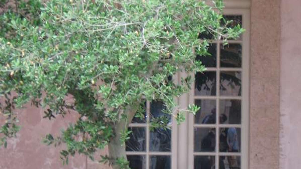Arbre En Pot Terrasse olivier en pot : plantation, taille et conseils d'entretien