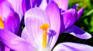 Widely opened violet-white crocus flowers.