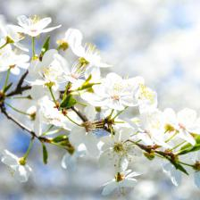 A profusion of blooms with flower apple trees