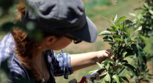A young lady prunes an apple tree to spur fruit-bearing.