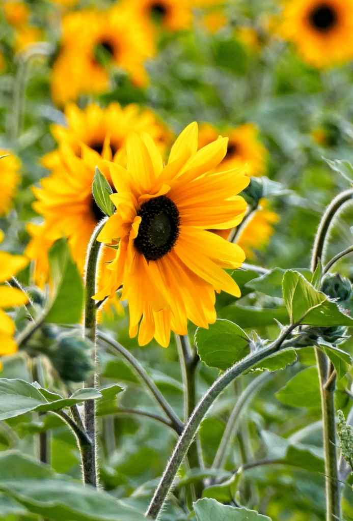 Helianthus, the famous sunflower