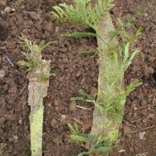 Propagating a mimosa tree from bark
