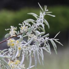 Russian Olive, a nice shrub