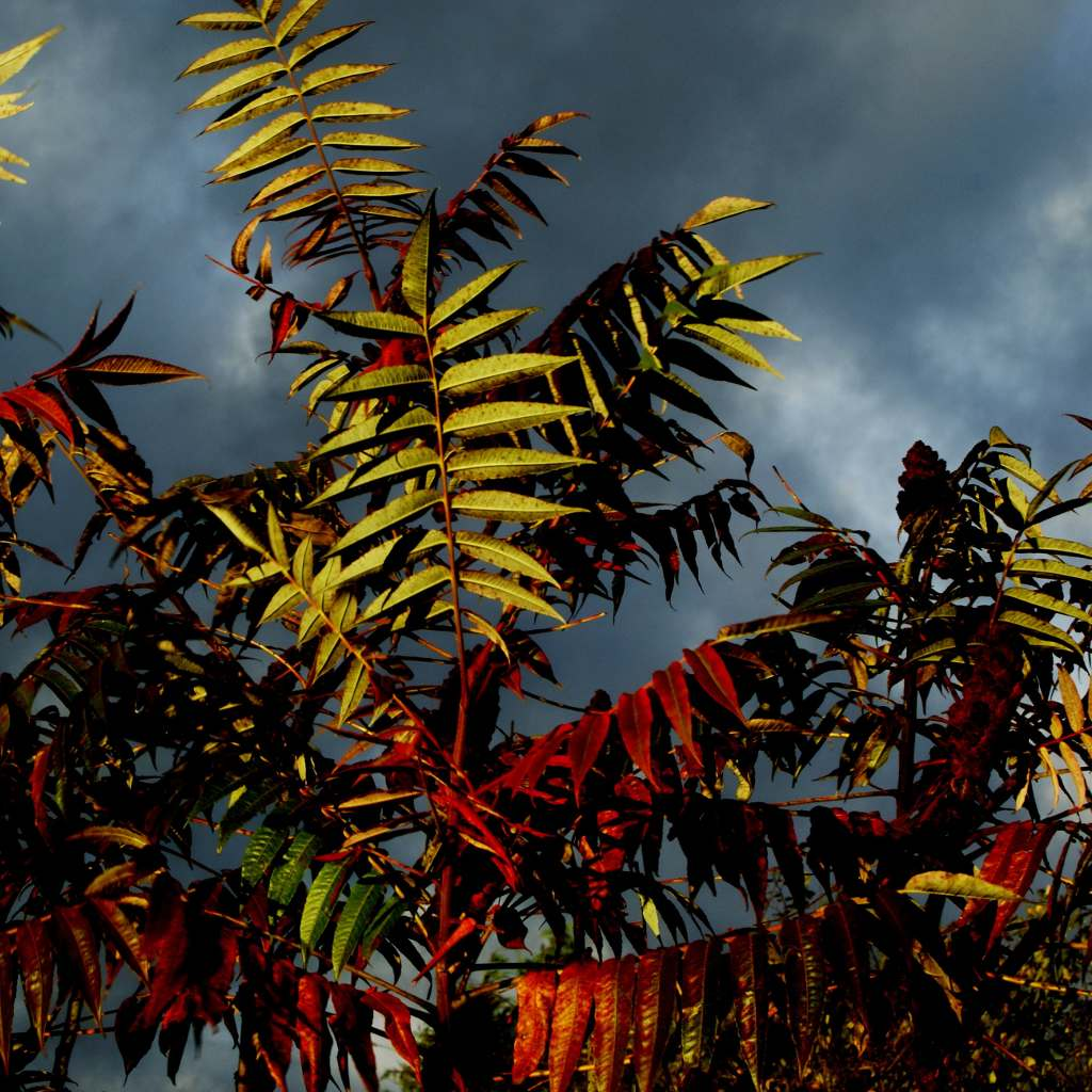 Staghorn sumac leaves burst in color as the sun lights them from below with a backdrop of a dark gray stormy sky.